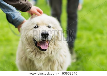 Cute adult dog with a white fur that caress a few hands. She is pleased, happy and smiling. Concept of friendship between man and dog