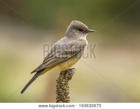 This Say's Phoebe kept flying into the air and grabbing insects from its perch on the top of this seedhead in a southeastern Arizona field.