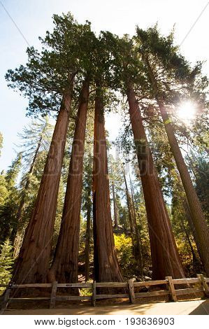 Redwood trees in Sequoia National Park in California, USA