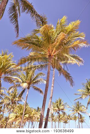 Tall palm trees over blue sky in Miami Beach