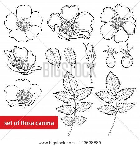 Vector set with outline Dog rose or Rosa canina, medicinal herb. Flower, bud, leaves and hip isolated on white background. Ornate wild rose in contour style for summer design and coloring book.