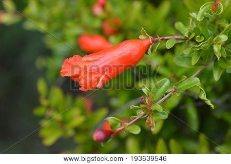 Dwarf Pomegranate Flower