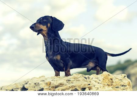 portrait (side view) of a dog (puppy) breed dachshund black and tan stand on a stone against a background of green hills and sky.
