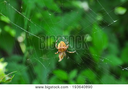 Spider wrapping its victim (wasp) up into the web for further eating. Spider wrapping its prey in silk.