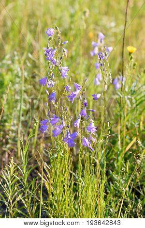 Violet Campanula Flowers