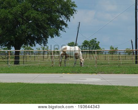 A beautiful paint horse grazes in a large pasture alone a Farmers Market road. The National Paint Horse Association is HQ in the Metroplex.