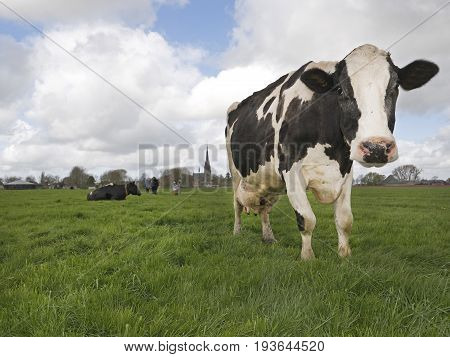 A sweet Dutch cow coming after the photographer in a beautiful field.