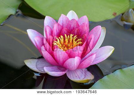 Seerose im Teich im garten im Wasser