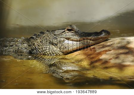 Alligator in Everglades National Park, Miami, USA