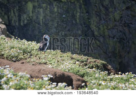 Puffin standing on a cliff top in Skomer Island