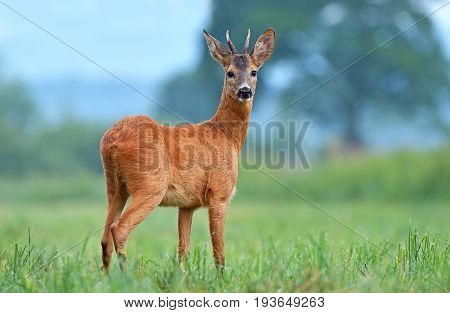 Wild roe buck standing in a field