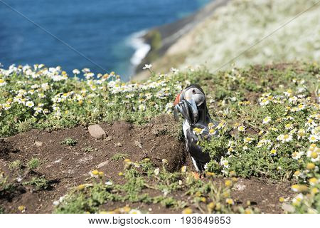 Puffin posing with sand eels in Skomer Island.