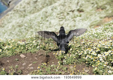 Rear view of a puffin spreading its wings