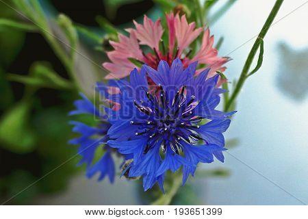 Cornflower, cornflower bouquet. Meadow flowers. Blue flower. Floral background. Summer background.