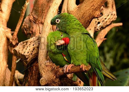 A pair of green parrots snuggle close to each other