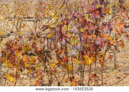 Vineyards In Winter, Vale Dos Vinhedos Valley