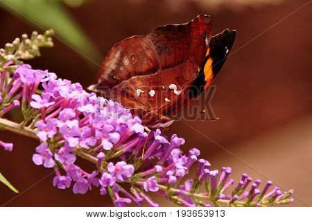 A leafwing butterfly lands on a nectar filled flower for a bite to est.