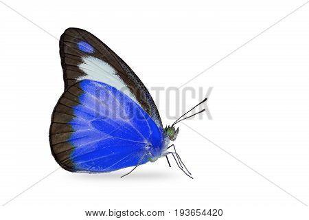 Chocolate Albatross (appias Lyncida) Butterfly