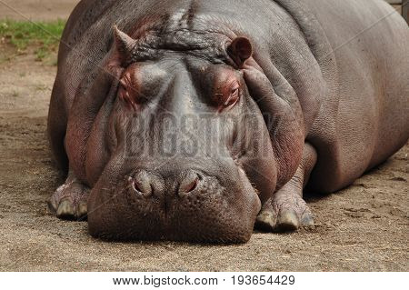 A hippopotamus relaxes by laying down taking a huge load off.