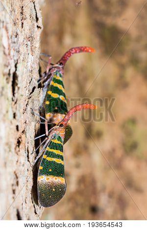 Pyrops Karenia Lantern Bug