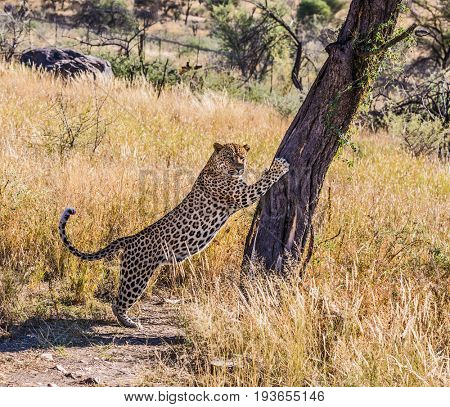 Savannah in Namibia. The magnificent large spotty African leopard sharpens claws about a tree. The concept of exotic and extreme tourism