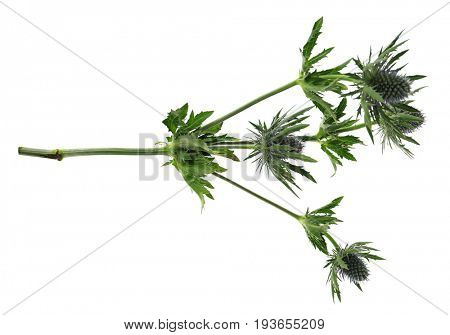 Beautiful burr plant on white background