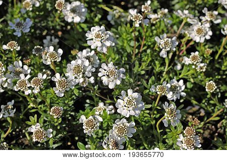 Iberis sempervirens the evergreen candytuft or perennial candytuft is a spring-blooming ornamental plant