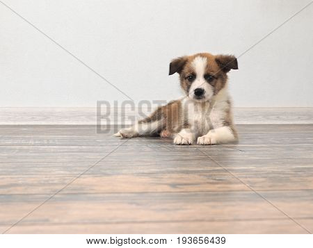 A little puppy is lying on the floor covering