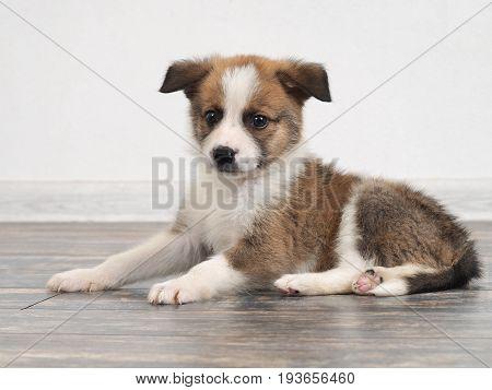 Cute little puppy portrait. Dog breed pet