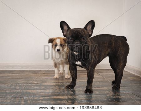 The dog is a French bulldog and small puppy breed