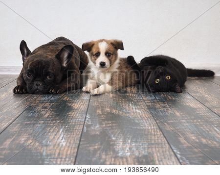Adult dog puppy and cat lying on the floor