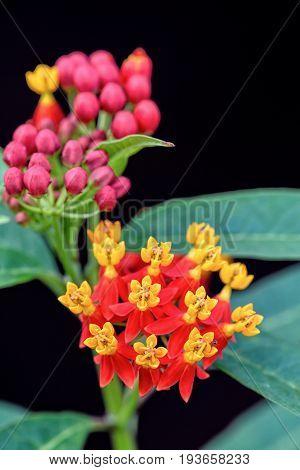 Asclepias Curassavica Flower