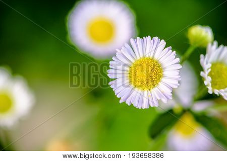 Closeup Daisy Flower