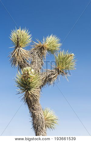 Many Joshua trees (yucca brevifolia) growing in the californian desert, USA. Photo taken against a blue sky