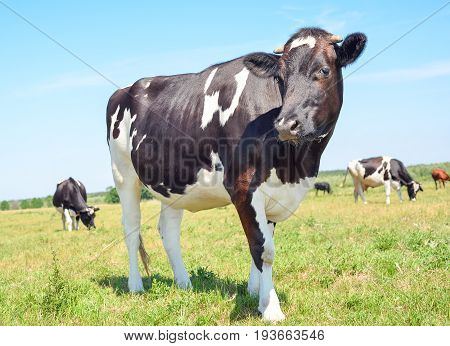 Close up portrait of young cow on the background of green field and others cows. Beautiful funny cow  grazes on cow farm Young, curious black and white calf staring at the camera in natural background