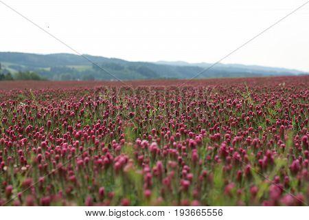 Crimson clover field in Czech republic ..