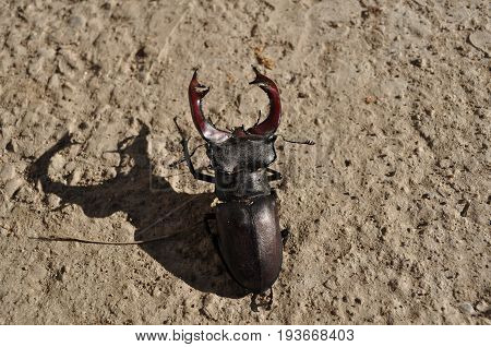 Big male stag beetle with scary shadow