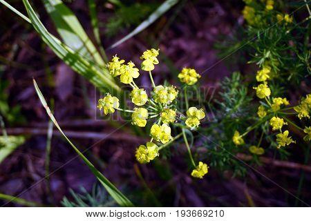 Wintercress flowers (Barbarea vulgaris) bloom in Spring Lake Park, between Harbor Springs and Petoskey, Michigan, during June.