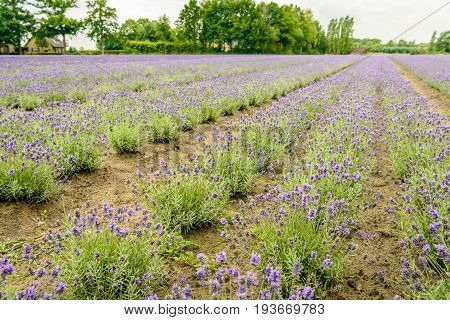 Converging beds with purple blooming lavender plants in the field of a specialized plant nursery in the Netherlands on a cloudy day in the beginning of the summer season.