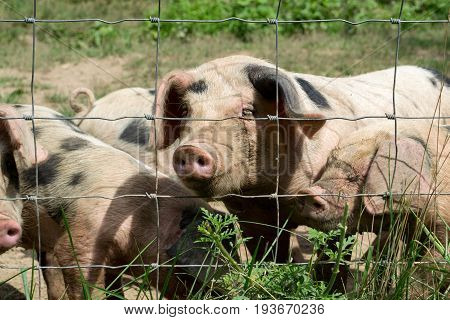 A group of happy little pigs behind a fence.