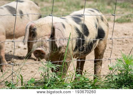 A cute little pig looking at the camera.