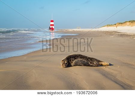 Harbor seal, common seal resting on beach with couple walking towards lifeguard tower in the background