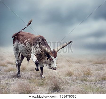 Brown and white longhorn steer in a grassland
