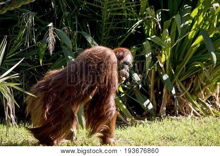 the orangutan is walking across the park while carrying a carrot in its teeth