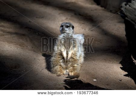 the meerkats are standing guard protecting their tribe