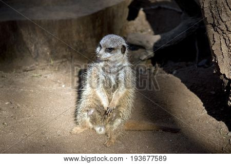 the meerkat is standing guard protecting his colony