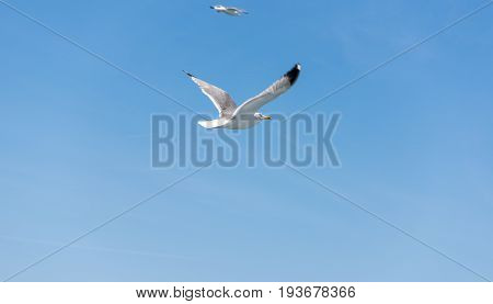 Seagull ( sea mew ) flying around the ferry boat to greek island Thasos poster