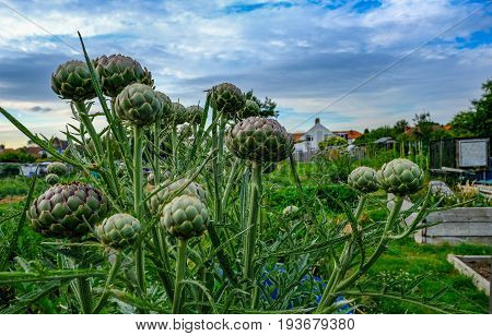 Large Artichoke plant with many artichokes ready to harvest. Early summer shot with close up of artichokes.