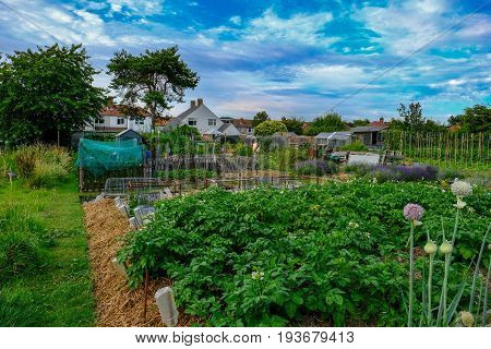Allotment plot with crop of potatoes and onions in the foreground. Shot taken in early July on a bright sunny evening.