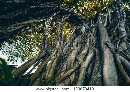 Wide angle view from bottom of huge Indian fig tree or banyan with multiple thick and long branches which became roots and trunks with time big green crown on the top Maldives